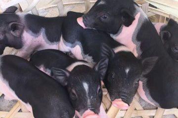 Mô hình nuôi lợn rừng, heo rừng Hot nhất 2021