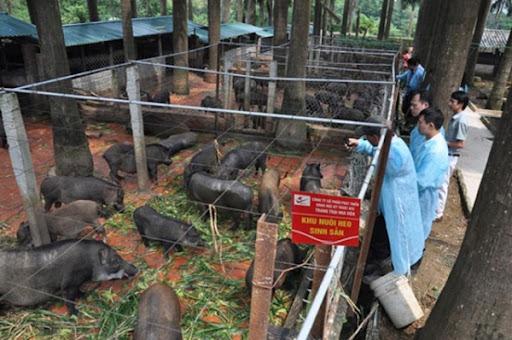 mô hình nuôi lợn rừng